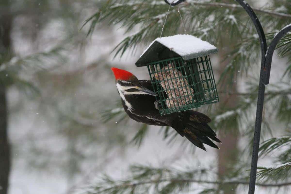 Big Woodpecker