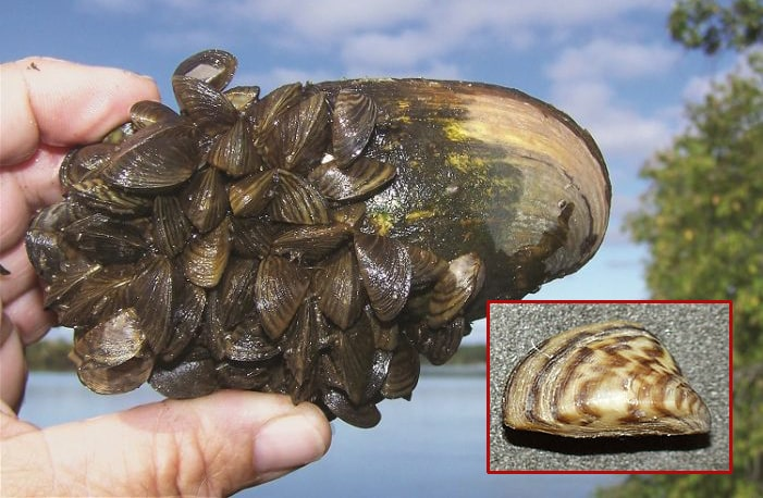 Regular mussel covered with Zebra Mussels (MNDNR); Detail (Wikipedia).